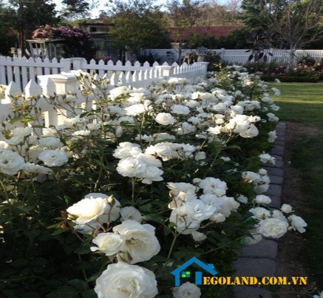 Những loại hoa đua nhau khoe sắc khiến khuôn viên khu vườn của bạn trở nên rực rỡ