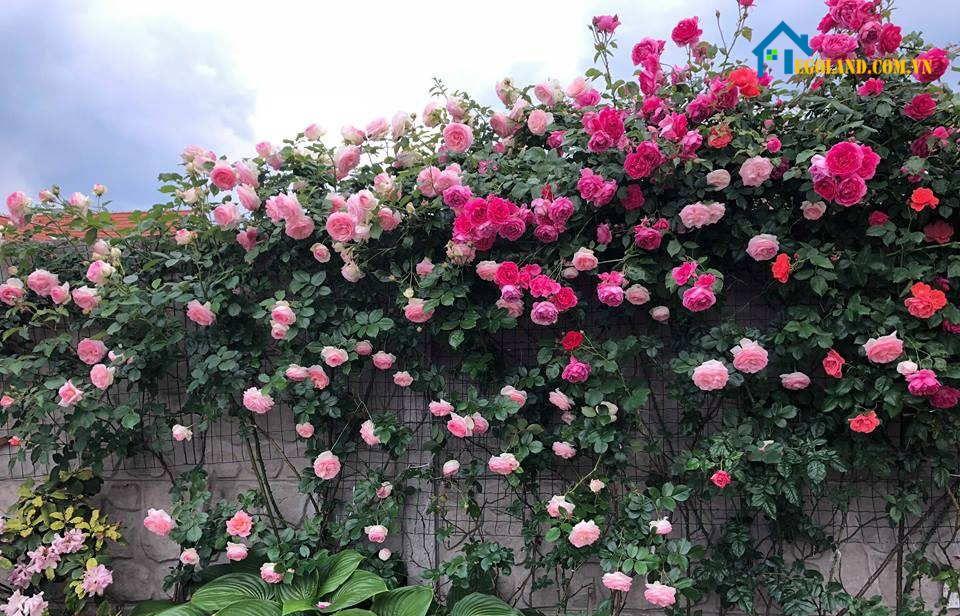 Cây hoa hồng leo