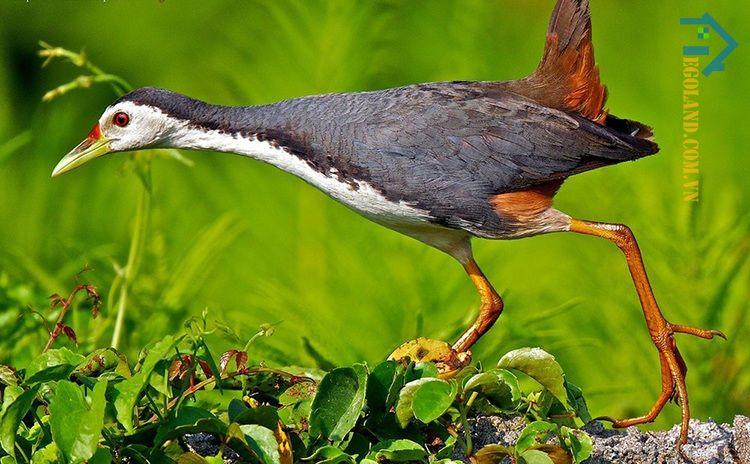 Khi chim cuốc bay vào nhà là dấu hiệu cho thấy gia chủ sắp có khách quý ghé chơi