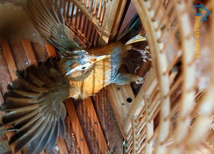 Sẽ có không ít các trường hợp chim bay vào nhà mang điềm báo không may mắn cho gia chủ