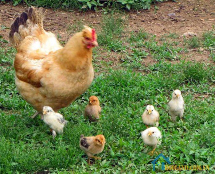 Mơ thấy đàn gà