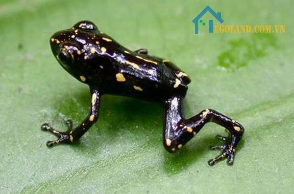 Mơ thấy ếch đen là điều không lành